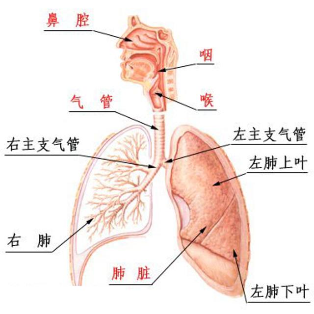 鼻子與肺的關係