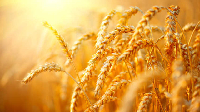 麦子成熟了
